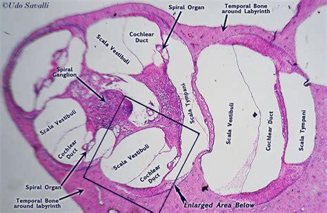 cochlea cross section bio201 cochlea