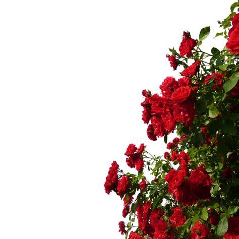imagenes de rosas trepadoras rosas trepadoras rojo flores 183 foto gratis en pixabay