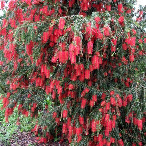 bottle brush trees trees planet callistemon viminalis weeping bottlebrush