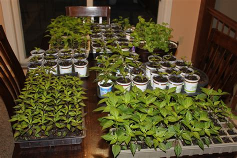 how to easily start garden and flower seeds indoors on the