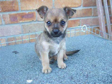 chihuahua and yorkie mix for sale yorkie and chihuahua mix newhairstylesformen2014