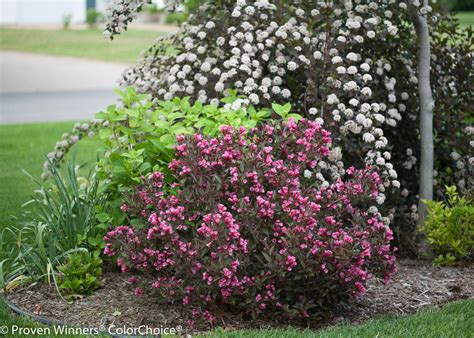wine roses weigela florida images proven winners