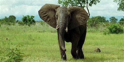 la fiebre china por el marfil mata  la fauna africana ciencia mundo animal periodista
