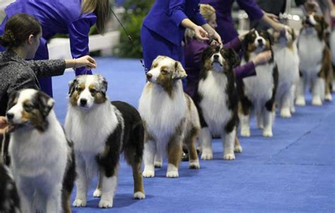 akc show 5 facts about the 2017 akc national chionship american kennel club