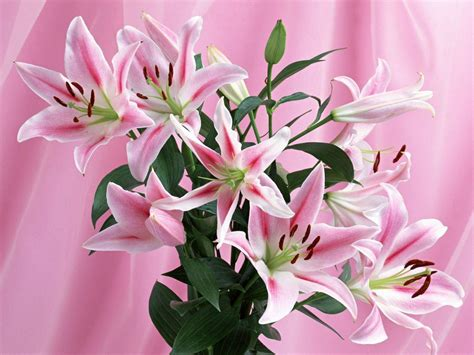 wallpaper flower lily stargazer lily wallpapers wallpaper cave
