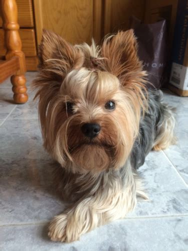 yorkie information and facts 10 interesting yorkie facts my interesting facts