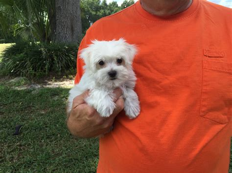 puppies for sale ocala fl morkie pups for sale ocala florida michelines pups3 micheline s pups