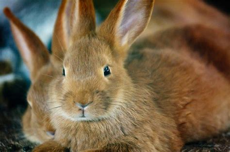 Shedding Bunny by Why Does A Rabbit Hair From Their Coat Hubpages