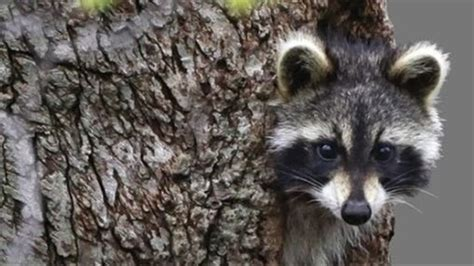 quick hits drunk raccoons  park service director  shiver   river