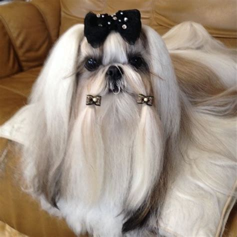 shih tzu braids 66 best images about haired shih tzu on hair dos show and