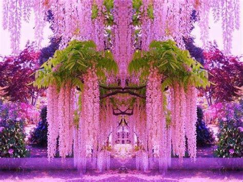arbusto con fiori violacei il glicine o wisperia un tocco di primavera e di amicizia