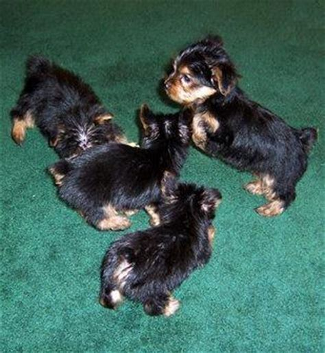 yorkie babies for free baby teacup yorkie puppies for free adoption