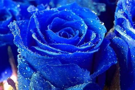 free wallpaper blue roses blue rose wallpapers flowers