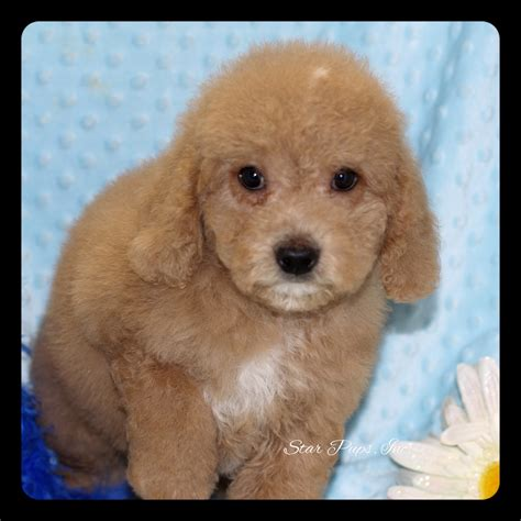 goldendoodle puppy prices mini goldendoodle m golden sold pups