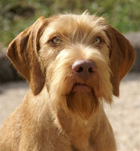 wire haired puppies wirehaired vizsla photo and wallpaper beautiful wirehaired vizsla