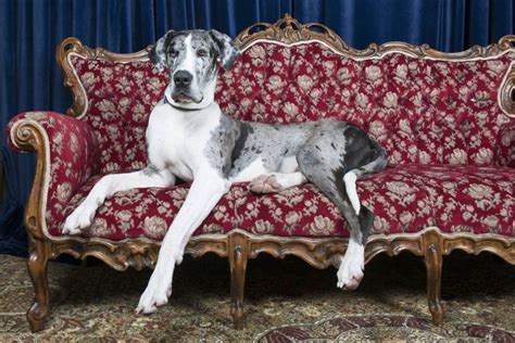 largest couch in the world 9 of the world s largest dog breeds mnn mother nature