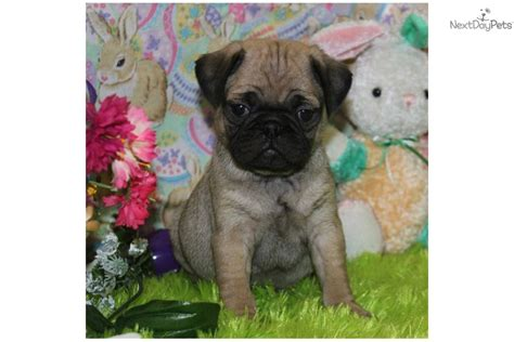 pug rescue mobile alabama japanese chin and puppies for adoption dogs breeds picture