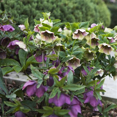 plant now hellebores flaming petal blog