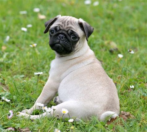 pug behaviour traits 17 best ideas about pug temperament on pug pug puppies and pugs