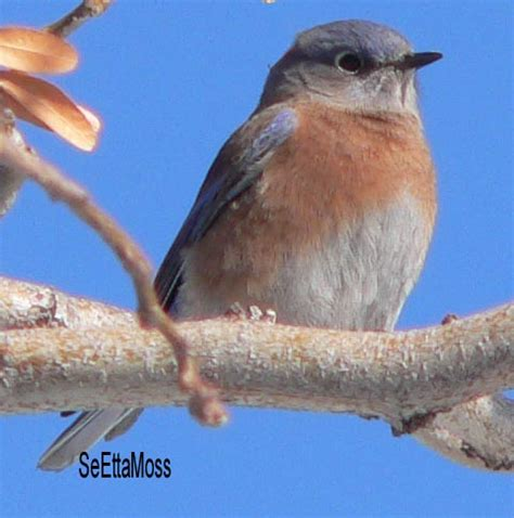 mealworms for bluebird when how do it safety birds