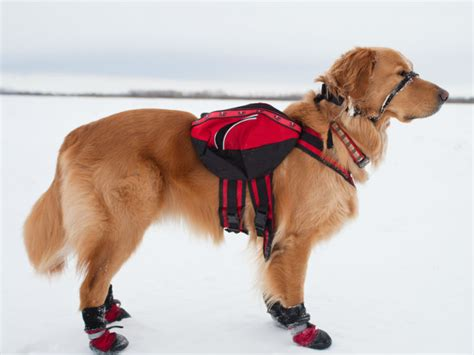 comfortable temperature for dogs cold weather walking tips for dogs vet tips