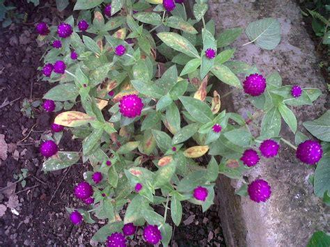 ragam tanaman obat  herbal  tumbuhan hias rumah