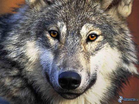 wolf s wolf s head