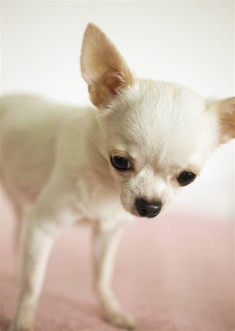 chi puppy white applehead chihuahua puppies images
