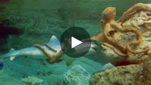 un impressionnant combat entre un requin et une pieuvre g 233 ante