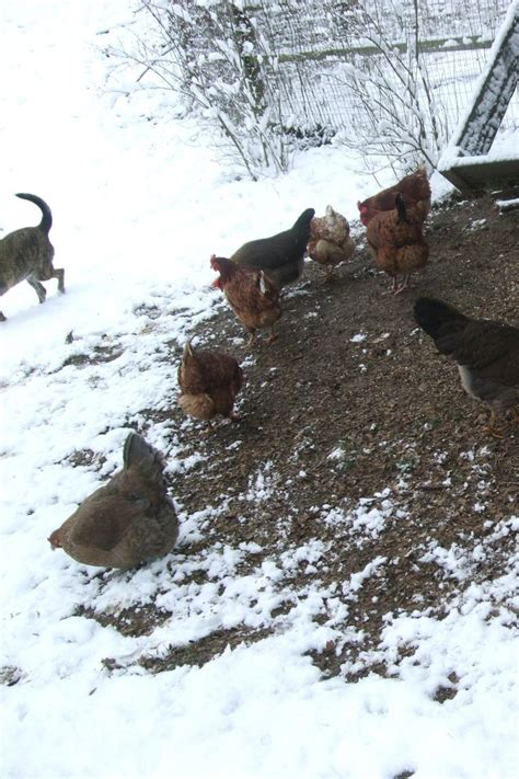Backyard Chickens Weather 47 Best Images About Cold Weather Chicken Care On