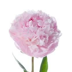 pink peonies light pink peonies peonies types of flowers flower muse