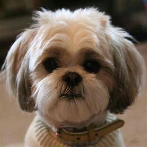sweet and sassy shih tzu 1000 images about shi tzu and lhasa apso dogs on pets puppys and