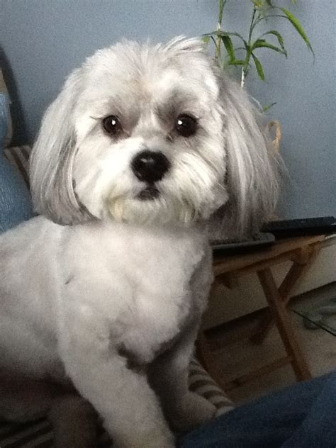shih poo puppies haircuts 275 best shih poo shih tzu images on pinterest baby shih