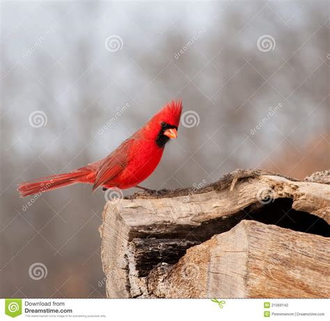 bright red northern cardinal searching for food stock