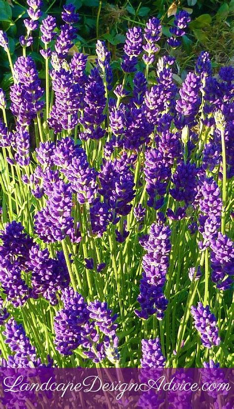 perennial flowers for a stunning design beautiful the flowers and lavender