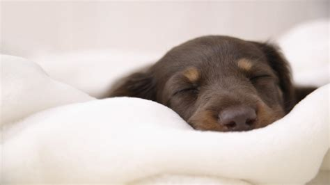 puppy in bed 6 reasons you should never own a dachshund