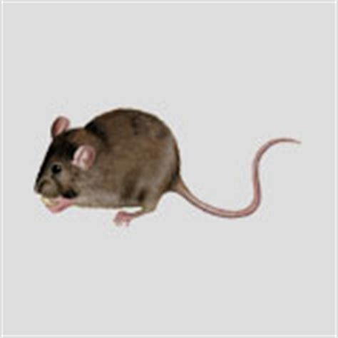 how do mice get in house how do mice get into my house colonial pest control