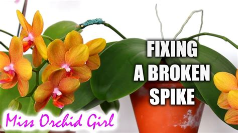 how to fix a broken orchid flower spike orchid nature