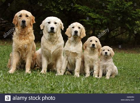 are golden retrievers family dogs golden retriever family of different generations stock photo royalty free