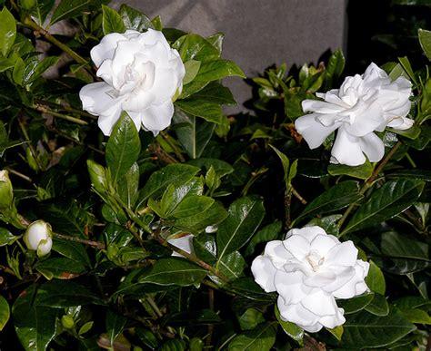 Gardenia Origin Gardenia Jasminoides Definition Meaning