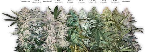 wholesale seed bulk seeds cannabis seed bank