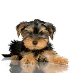 yorkie puppies for sale in rapid city sd yorkie puppies for adoption rapid city dogs for sale puppies for sale rapid city