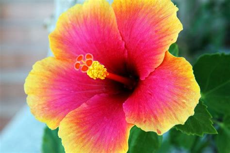 what color is hibiscus hibiscus flower idea and want this colour