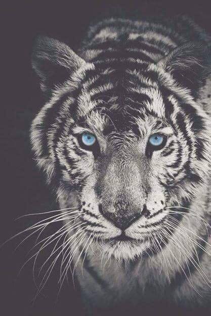 wallpaper tumblr tiger dope tiger backgrounds tumblr