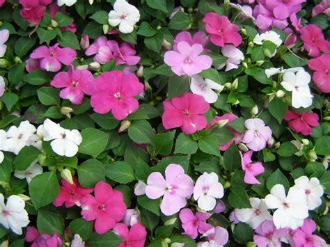 impatiens nuova guinea vaso impatiens impatiens piante annuali balsamina