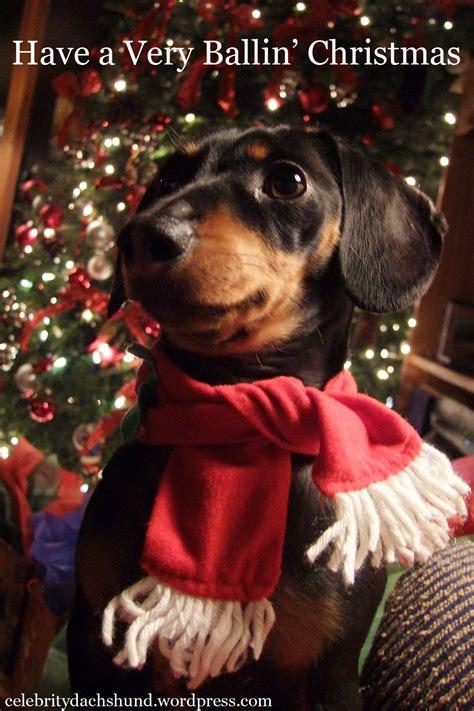 holiday gift giving crusoe  celebrity dachshund