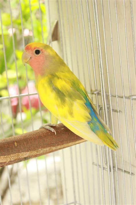 watta bird pied factor lovebirds