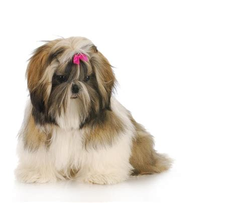 shih tzu breed info shih tzu breed breeds picture