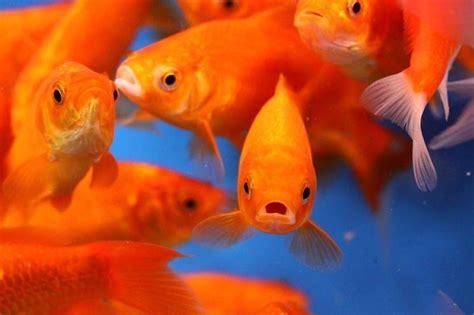 vasca pesce rosso acquario pesci pesce acquario per pesci