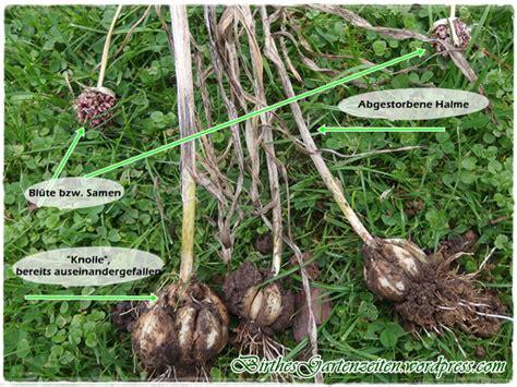knoblauch pflanzen und ernten 4635 knoblauch knoblauch setzen s 228 en ernten im fr 252 hjahr